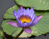 Blue Yellow Water Lily and Pads Stock Photos