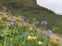 Blue and yellow wild flowers. In the Drakensberg Stock Photography