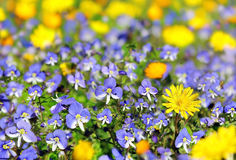 Blue and yellow wildflowers Royalty Free Stock Image