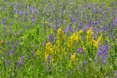 Blue and yellow wildflowers in the meadow in summer. Blue and yellow wildflowers in  meadow in summer Royalty Free Stock Image