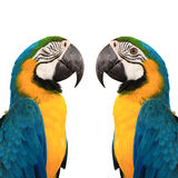 Blue and yelow macaw Royalty Free Stock Image