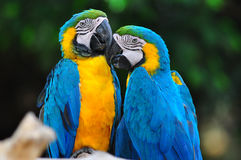 Blue and yelow macaw love bird. On branch Stock Photo