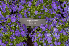 Blue for You Horned Violet (Viola cornuta) Stock Photo