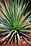 Blue Yucca Cactus Royalty Free Stock Image