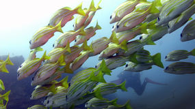 Bluebanded Snappers Stock Photos
