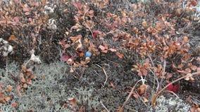 Bluebarries στο βουνό στοκ εικόνα με δικαίωμα ελεύθερης χρήσης