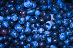 Bluebarries royalty free stock images
