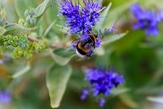 Bluebeard Caryopteris x clandonensis ` Nadziemski Błękitny ` z Bumblebee Zdjęcia Stock