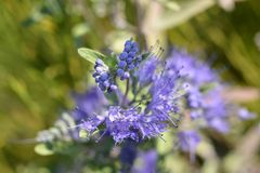 Bluebeard Nadziemski błękit obrazy stock