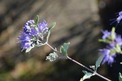 Bluebeard Nadziemski błękit zdjęcia stock