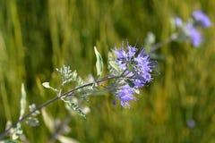 Bluebeard-wunderbar Blau lizenzfreie stockbilder