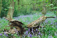 Bluebells and fallen tree Royalty Free Stock Photography
