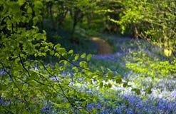 Bluebell ścieżka Obraz Royalty Free