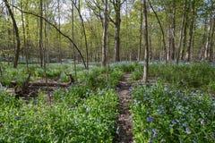 Bluebell δασική φαντασία Μαΐου στοκ φωτογραφία