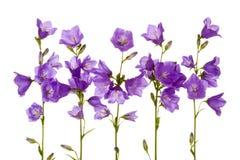 bluebell λουλούδια Στοκ Εικόνα