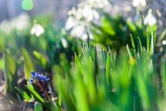 Bluebell στην ηλιοφάνεια Στοκ Εικόνες