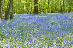 bluebell χρυσά ελαφριά θερμά δάση ά&n Στοκ Εικόνα