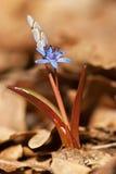 Bluebell в лесе Стоковые Изображения