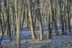 Bluebell в древесине Стоковое Изображение