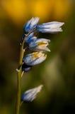 Bluebell цветет готовое для того чтобы зацвести Стоковые Изображения RF