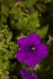 Bluebell цветет крупный план Стоковая Фотография RF