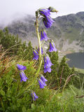 Bluebell Foto de Stock