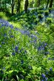 Bluebell Стоковое Фото