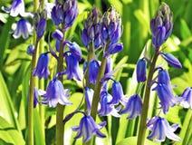 Bluebell Стоковые Изображения