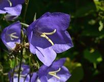 Bluebell Стоковые Изображения RF