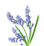 Bluebell Stock Image
