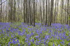 Bluebell Photos stock