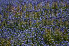 Bluebell background Stock Photo