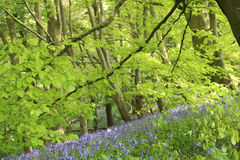 Bluebell Bank. Ancient Bluebell Woods in Somerset, UK Stock Photos