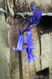 Bluebell and barbed wire Royalty Free Stock Photography