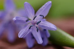 Bluebell Stock Photography