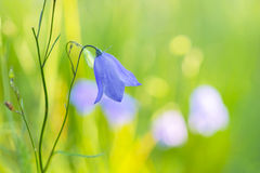 Bluebell bellflower Royalty Free Stock Photos