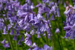 Bluebell bending over with the weight of flowers royalty free stock image