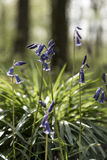 Bluebell. S in a forest with the light coming from the background. These plants bloom during May/June  and can be found mostly in forests Stock Images