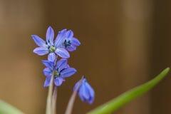 Bluebell, bucaneve nella foresta, fiore Fotografia Stock Libera da Diritti