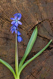 Bluebell, bucaneve nella foresta, fiore, campanula su una corteccia di legno Immagine Stock Libera da Diritti