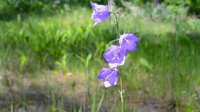 Bluebell (campana-fiore) nella foresta nel giorno soleggiato, ambiente di estate, archivi video