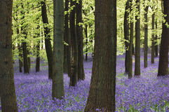 Bluebell carpet Royalty Free Stock Photo