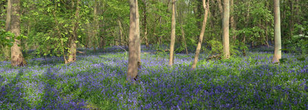 Bluebell Carpet Gransden Woods Stock Photography
