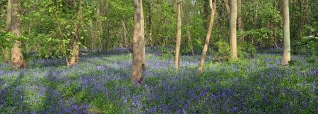 Bluebell Carpet Gransden Woods stock photography