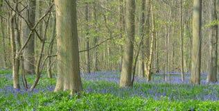 Bluebell carpet on woodland floor Royalty Free Stock Photo