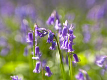 Bluebell close-up, selective doff Royalty Free Stock Image