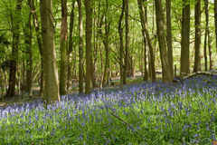 Bluebell Copse. A spring-time blanket of bluelells in an English wood Stock Images
