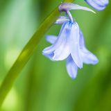 Bluebell del resorte Fotos de archivo