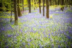 Bluebell drewien wiosna zdjęcia stock
