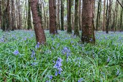 Bluebell drewna Zdjęcie Stock